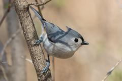 Tufted Titmouse (Jeremy Meyer) Tags: tuftedtitmouse tufted titmouse bird chickadee nature