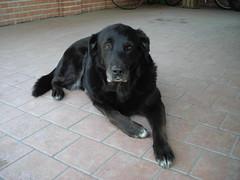 Lola (chebelloilmondo) Tags: cani dogs labrador nera black
