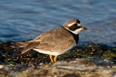 _F0A7229.jpg (Kico Lopez) Tags: asturias castropol charadriushiaticula chorlitejogrande eo hide spain aves birds rio