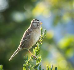 Sunny side up. (Omygodtom) Tags: sparrow bokeh bird outdoors wild wildlife abstract animalplanet natural nature nikon d7100 nikon70300mmvrlens star diamond portrait posing dof