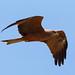 Black+kite+in+flight