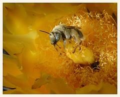 Bee in Barrel Cactus Flower (gauchocat) Tags: diadasiasp tucsonmountains tucsonarizona solitarybee