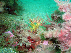 DurlBay 27 (bloomspix) Tags: seasearch underwater englishchannel swanage