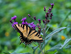 Swallowtail Sighting (tquist24) Tags: goshen goshenmillracecanal indiana nikon nikond5300 outdoor bokeh butterfly flower flowers geotagged green insect nature summer swallowtailbutterfly yellow unitedstates wow