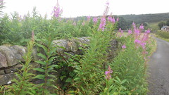 Rosebay Willow Herb, Holden Wood Lane (mrrobertwade (wadey)) Tags: wadeyphotos mrrobertwade rossendale robertwade lancashire haslingden milltown