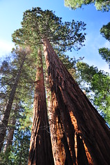 Giant Sequoia (powerfocusfotografie) Tags: mariposagrove california usa trees forest travelling giantsequoia henk nikond90 powerfocusfotografie