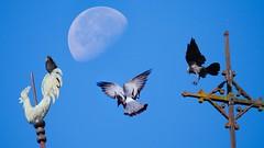 la lune et les oiseaux (Yasmine Hens) Tags: hensyasmine namur belgium wallonie europa aaa belgi belgia europe belgien  belgique blgica   belgie  belgio    bel be oiseaux birds lune moon panasonicdmcgx8