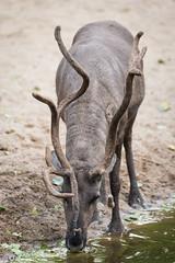 2016-08-27-19h53m07.BL7R4688 (A.J. Haverkamp) Tags: canonef100400mmf4556lisiiusmlens amsterdam zoo dierentuin httpwwwartisnl artis thenetherlands rendier rangifertarandus reindeer
