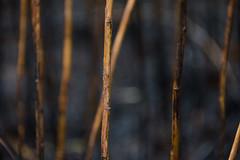 DSC_1686 (Holt MeCloser) Tags: burnt nature outside sticks