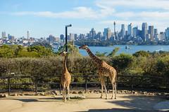 Giraffes at the Taronga Zoo in Sydney (Mister Bunny) Tags: australia sydney tarongazoo zoo mosman newsouthwales au giraffe