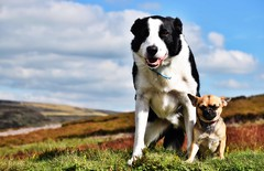 The kids (lisheeny) Tags: chihuahua dog border collie pet animals animal moor derbyshire countryside littledoglaughedstories