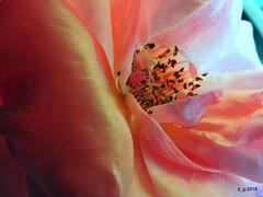 DSCN8497 (papamillo) Tags: varese 2016 cavagnano coolpixp520 italy lombardia outdoor natura fiori flora flowers rosacee rosa petali papamillo