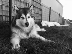 Summer Shade (grisswife) Tags: rest yard garden grass dog malamute