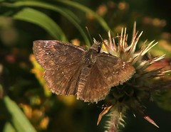 SL_092516g (Eric C. Reuter) Tags: ny catskills nature peaseddyroad september 2016 092516 butterflies butterfly insects