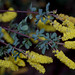 Acacia drummondii ssp candolleana, Kings Park, Perth, WA, 16/08/16