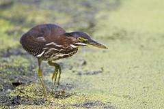 stalking ( explored ) (G_Anderson) Tags: green heron ubran park st louis birding
