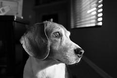 Arnold. (heathervermeys) Tags: hound dog dachshund italiangreyhound blackandwhite canon cd 6d beagle hounddogs wienerdog