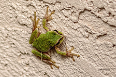Tree Frog (Photos_By George) Tags: treefrogs frogs amphibians polypedates outdoors nature wildlife animal outdoor texture canon7dmkii canon 300views
