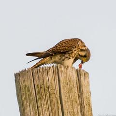 Presa fcil (Sniper PR) Tags: guaraguaocolirojo presa ave bird alumbrado cazeria comiendo naturaleza