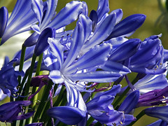 Agapanthus (Cornishcarolin. Thank you everyone xxxx) Tags: cornwall queenmarygardensfalmouth falmouth flowers nature plants blueflowers blue agapanthus