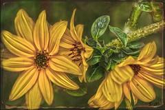Fiori in giallo (Laralucy) Tags: fiori giallo petali macro closeup elaborazione texture flowers yellow