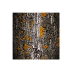 Inks of time (GP Camera) Tags: nikond7100 nikonafs50mmf18g cortex corteccia lichens licheni split fessura abstract astratto details dettagli shade sfumatura textures trame light luce shadows ombre lightandshadows lucieombre lighteffects effettidiluce vignetting focus messaafuoco yellow giallo black nero grey grigio spots macchie allaperto tree albero trunk tronco squareformat formatoquadrato whiteframe cornicebianca italy italia piemonte monferrato darktable gimp digitalprocessing elaborazionedigitale