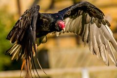 2016-10-04 Thirsk-6470.jpg (Elf Call) Tags: 120300 prey nikon hawk vulture birds owl eagle kookaburra psion d7200 hill