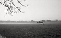 Bluegrass Mist (matthew.vortex) Tags: horse fog farm bluegrass lexington kentucky mist blackandwhite monochrome yashica ministerd ilford hp5 epsonv600
