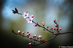 If You Are Lonely When You Are Alone, You Are In Bad Company (_Natasa_) Tags: flowers spring buds pink macro closeup dof depthoffield nature art branch pinkflowers bokeh natasaopacic natasaopacicphotography canon canoneos7d canonef100mmf28lmacroisusm blossom tree branchlet flower