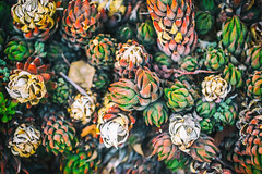 Secret Valentine (Thomas Hawk) Tags: america california huntington huntingtonbotanicalgarden losangeles sanmarino southerncalifornia thehuntington usa unitedstates unitedstatesofamerica botanicalgarden cactus desertgarden fav10 fav25
