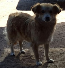 Pampa de la Quinua (Santiago Stucchi Portocarrero) Tags: quinua ayacucho huamanga perú santiagostucchiportocarrero cane can chien hound dog hund perro