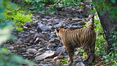 Ranthambhore 2016 (Partha) Tags: ranthambhore
