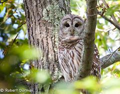 Barred Owl (Strix Varia) (tavarez.niurka) Tags: strixvaria strix varia barredowl barred owl raptor predator roosting roost hoot hooter buho buma lechuza coruja  gufo camo camouflage chouette