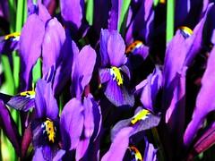 spring color, irises