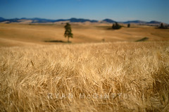 Palouse Summer Wheat (Ryan McGinty) Tags: summer usa film landscape washington wheat farmland fields palouse velvia50 contaxg2 g45 ryanmcginty