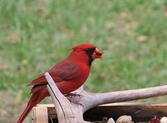 Male Cardinal 2 (Gary Helm) Tags: bird nature water birds animals canon landscape cardinal wildlife centralflorida lakewales lakepierce sx50hs lookingoutmybackdoor2