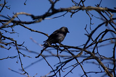 The bird (DavidAndersson) Tags: black tree bird sweden branches vnersborg tamron18200f3563