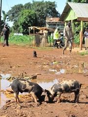 Scavenging pigs in Busia, western Kenya (International Livestock Research Institute) Tags: kenya paz pigs biotechnology ilri animaldiseases zoonoticdiseases busiakenya