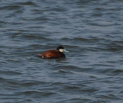 Male Ruddy Duck (psiegle) Tags: duck ruddyduck independencegrove lcfpd
