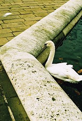 Roll 2 - A Swan on the Edge (Cris Ward) Tags: park camera old city uk orange color colour slr bird london film birds animal animals yellow rollei analog 35mm vintage landscape daylight swan lomo xpro lomography warm cross britain crossprocess grain feather slide retro hyde crossprocessing april hydepark analogue manual noise processed e6 yashica blown colorshift lsi c41 2013 yashicafxd colorreversal cr200 lomolab digibase rolleidigibasecr200