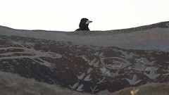 Bird on a rock (Conor O'Dea) Tags: sun bird blackwhite australia shade nsw outback brokenhill sculpturesymposium