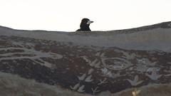 Bird on a rock (Conor O'Dea) Tags: sun bird blackwhite australia shade nsw outback brokenhill sculpturesymposium