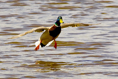 Amaratge / Duck landing (SBA73) Tags: bird animal duck wings au catalonia landing ave pato alas mallard catalunya pajaro ales anas llobregat aiguamolls ocell parcnatural anec aterrizar azulon deltadelllobregat anadereal aneccollverd anasplatyrhynchus maresma aterrant lesfilipines