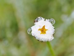Regenzauber (macplatti) Tags: macro nature spring magic foliage pearl makro fruehling canonef100mmf28 canoneos5dmarkiii