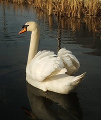Trinity Swan (gallftree008) Tags: ireland dublin irish lake nature swan competition swans dub dublincity competitiontagged cherryontopphotography pjg008