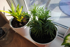 Repotting some plants (Ulixis) Tags: pink flowers blue plant window blog leaf ivy palm foliage pots greens greenery hydrangea potting repotting indoorgarden ulixis