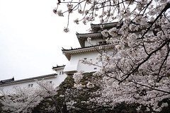 (ddsnet) Tags: travel plant flower japan sony  cherryblossom  sakura nippon  kansai  nihon hanami  backpackers  flower     nex      wakayamaken   cherry  blossom mirrorless japan  wakayamashi  flowerinjapan newemountexperience nex7