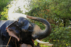 MG_3477 (PRATHAPSTOCKIMAGE) Tags: india elephant festival canon religion decoration kerala trissur pooram nettipattom eos60d