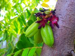 Biribiri (Pedro Augusto da Silva) Tags: frutas fruits exotic tropical tropicais exticas biribiri flickrandroidapp:filter=none