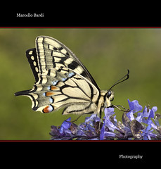 Macaone (Marcello Bardi) Tags: butterfly ngc npc photomix photosandcalendar natureselegantshots panoramafotografico flickrstruereflection5 flickrstruereflection6 bestevercompetitiongroup rememberthatmomentlevel6 onlythebestofflickr everythingwithwings macroelitecontestwinner